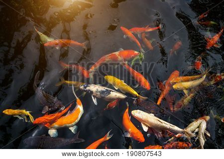 Fancy Carp Or Called Koi Fish Swimming In Carp Pond.