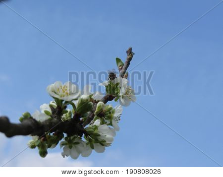 Blossoming plum against the blue sky . Bee impollinates flower . Tuscany Italy