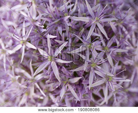 Allium Background. Purple Flowers Texture. Summer.
