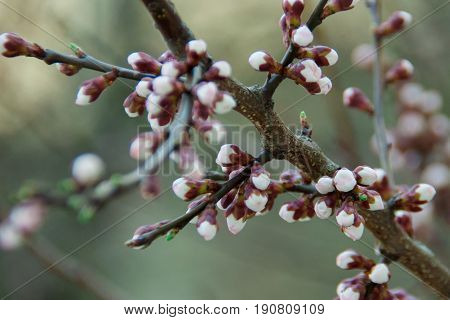 Earlier flowering of a tree with white flowers
