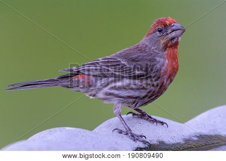 Male House Finch clinging to the side of a birdbath