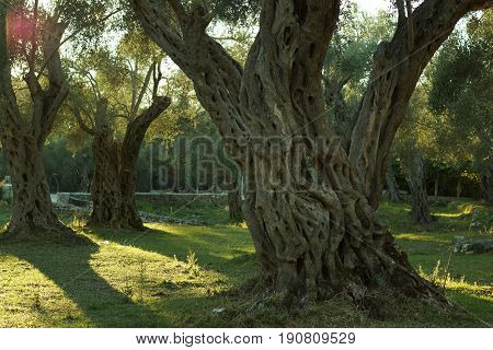 Perennial olive tree in an olive grove, illuminated by the setting sun.