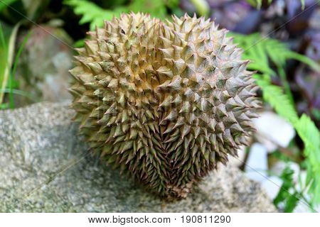 Heart shape Durian fruit on a rock in the countryside garden