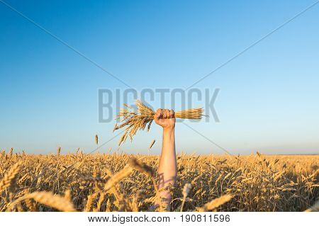 the male hand holding the ripened gold cones of wheat on blue sky and wheat field background. empty space for the text. harvest, agriculture, agronomics, food, production, organic concept.