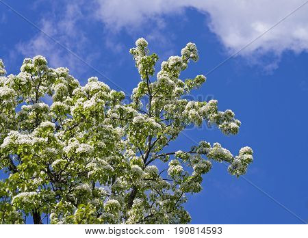 Flowering ussurian pear (pyrus ussuriensis) against the blue sky.