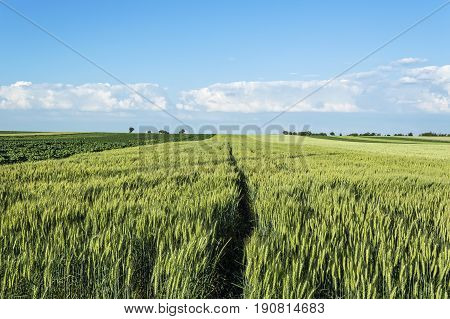 Wheat field on a nice summer day landscape of agricultural grain crops and blue sky. Selective focus.