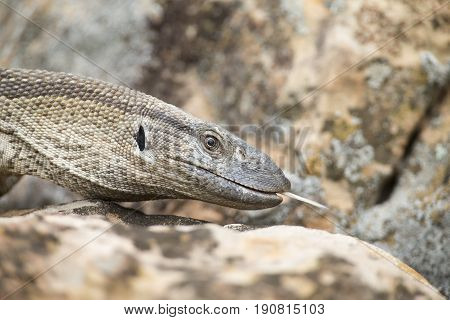 Close-up of a Nile Monitor head walking over brown rocks