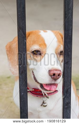 Spotted Beagle dog looking through gate bars. Sad dog waiting for owners return.