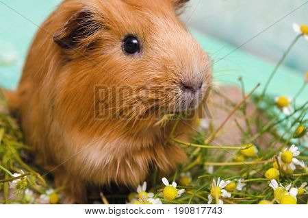 Portrait of red guinea pig. Close up.