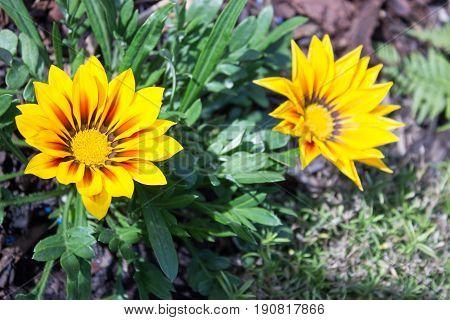 Beautiful two yellow gazania with white stone on the garden