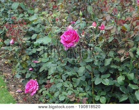 Two pink roses growing in a patch, surrounded by rose buds.