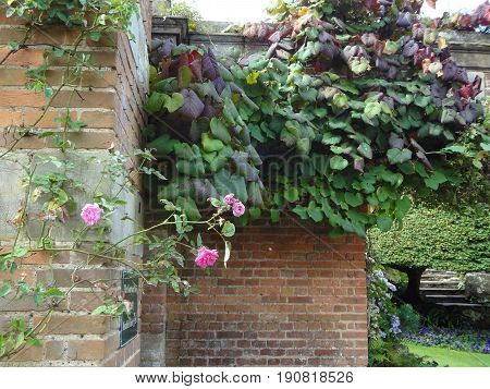 Pink roses growing along a brown brick wall on a beautiful sunny day.