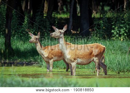 Group of hinds (red deer female) walking on meadow with spring flowers in front of forest