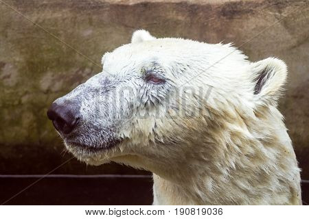 Portrait Of A Polar Bear Swimming In A Pool.