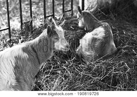 Two goats sitting on hey in rural setting