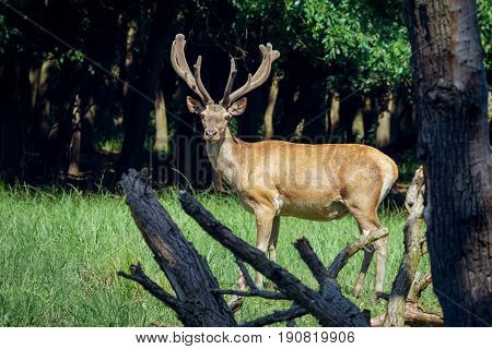 Group of red deers with growing antlers standing on meadow and looking at camera
