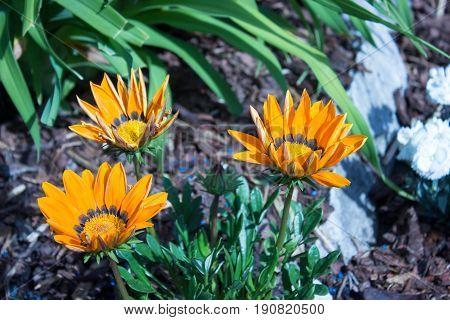 Beautiful three orange gazania with white stone on the garden