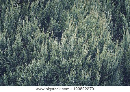 Green Thuja occidentalis Columna texture close up
