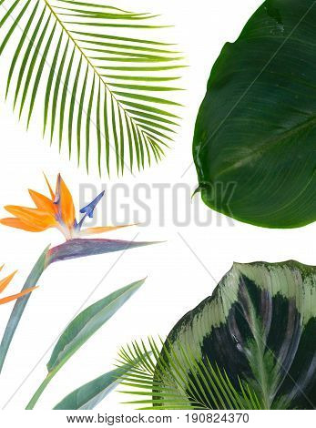 tropical flowers and leaves - fresh strelizia bird of paradize flowers and exotic palm leaves on white background poster