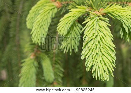 Fresh Needle Leaves On Fir Branch At Spring