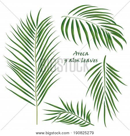 Branch tropical palm areca leaves. realistic drawing in flat color style. isolated on white background.. Vector illustration