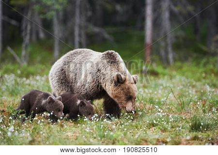 Mommy bear walks in the Finnish taiga with two small puppies