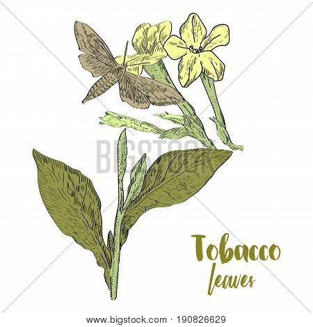 Vector Drawn Tobacco Leaves With Flowers And Butterfly On White Background In A Sketch Style. Botani