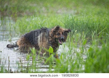 German shepherd dog shaking off water in lake
