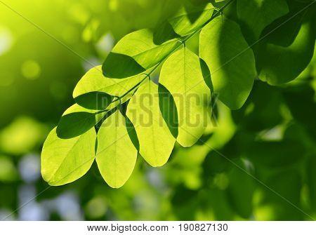 Fresh green spring leaf of Acacia or Black Locust.