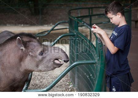 LES MATHES, FRANCE - JULY 4, 2016: Young visitor takes photos of South American tapir (Tapirus terrestris), also known as Brazilian tapir at La Palmyre Zoo (Zoo de La Palmyre) in Les Mathes, France.
