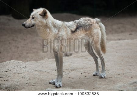Northwestern wolf (Canis lupus occidentalis), also known as the Mackenzie Valley wolf.