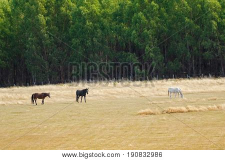 Brown Black White horse nibbling grass in the field during Autumn in Tasmania, Australia