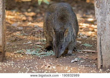 Tasmanian Pademelon nibbling its lunch on the ground in Tasmania, Australia (Thylogale billardierii)