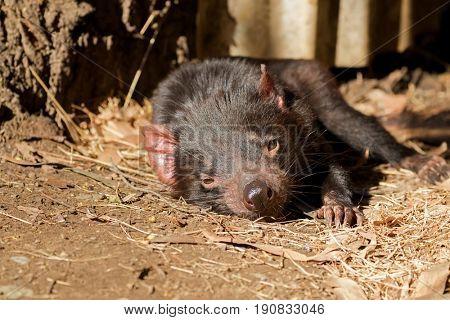 Tasmanian devil resting on ground in the sun, afternoon in Tasmania, Australia (Sarcophilus Harrisii)