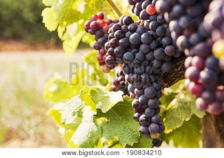 Vine and bunch of black grapes in a field. Bunches of red grapes growing on a vine. Close up of vineyard with ripe grapes at sunset. Beautiful red grapes ready for harvest.
