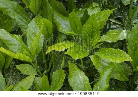 Japanese bush (Aucuba japonica) shrub with yellow spotted green leaves. Selective focus.