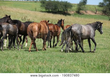 Beautiful Horses Going Together On Pasturage