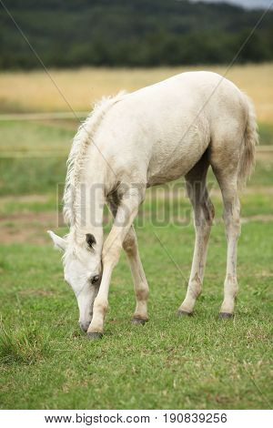 Amazing welsh part-bred foal eating grass on pasturage