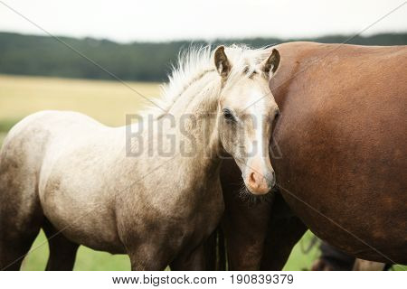 Amazing welsh part-bred foal on pasturage with mare