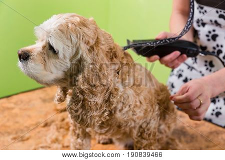 Grooming The Hair Of Brown Dog Breed Cocker Spaniel