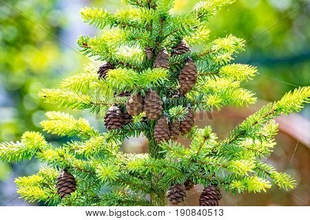 Many cones of a pine hang on the tree