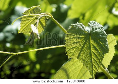 Picture of vine folias, done by a canicular day. A photo is done in June, 2017.