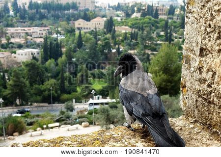 Crow sits on the wall of the Old City on the background of Jerusalem