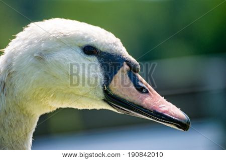 A portrait of a white swan at a lake at the village
