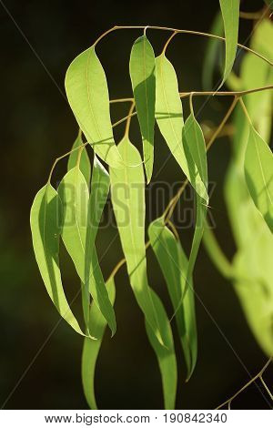Eucalyptus green leaves abstract vintage background with copy space, organic eco natural concept