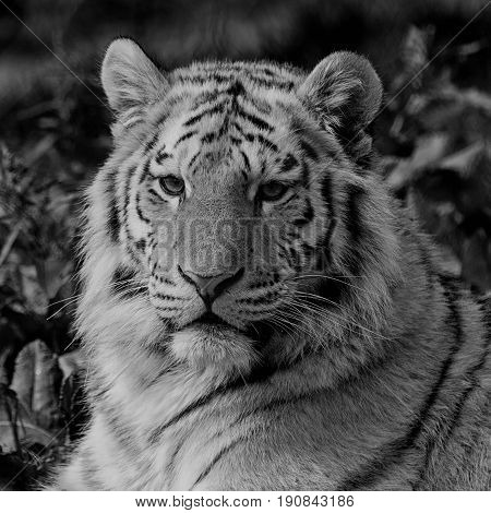 Black and white close up of an Amur tiger face relaxing in the grass showing its beautiful stripes. With space for text.