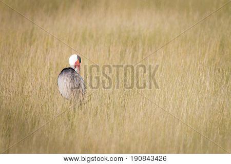 A Wattled Crane Walking In The Grass.