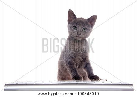 Small dark gray kitten sitting in front of computer keyboard paws on keys looking at viewer. Isolated on white background. Fun computer technology theme with kittens