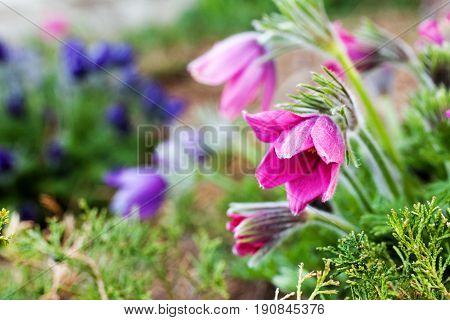 Spring Pasque flowers - Pulsatilla patens Rock lily in the garden. Selective focus.