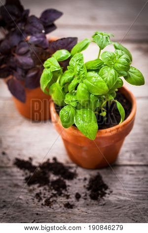 Growing Green Basil Herb Plants in Pot. Selective focus.